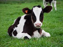 Purchase Your Calf With Weekly Payments