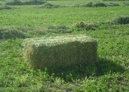 Your Calf Starts Eating Alfalfa After 6 Weeks