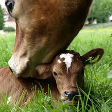 To purchase your calf – Select how many days of the week you would like to receive dairy products!